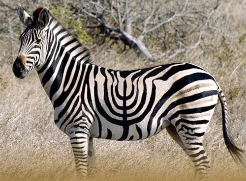 zebra_menorah